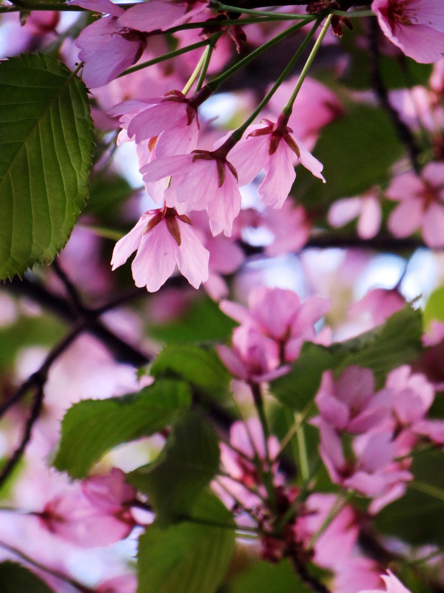 kirsikankukat8