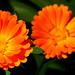 Orange Petals3 P8261446