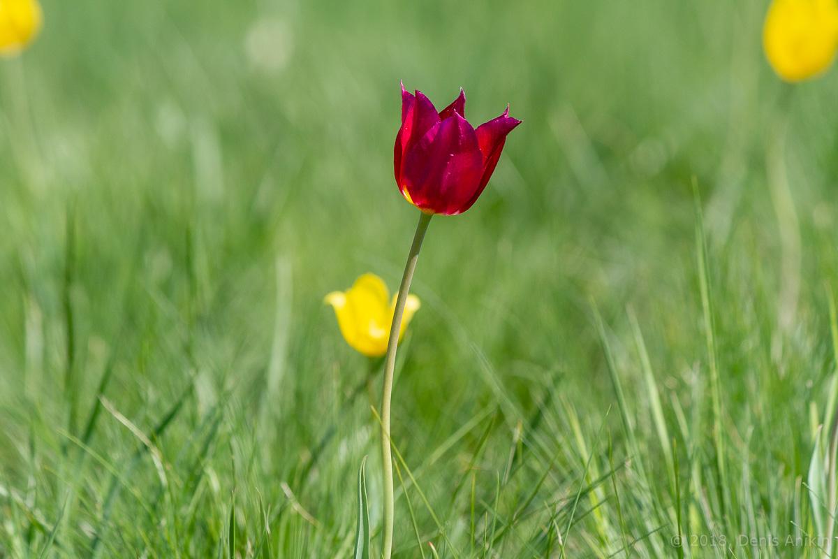 тюльпаны иваново поле фото 8