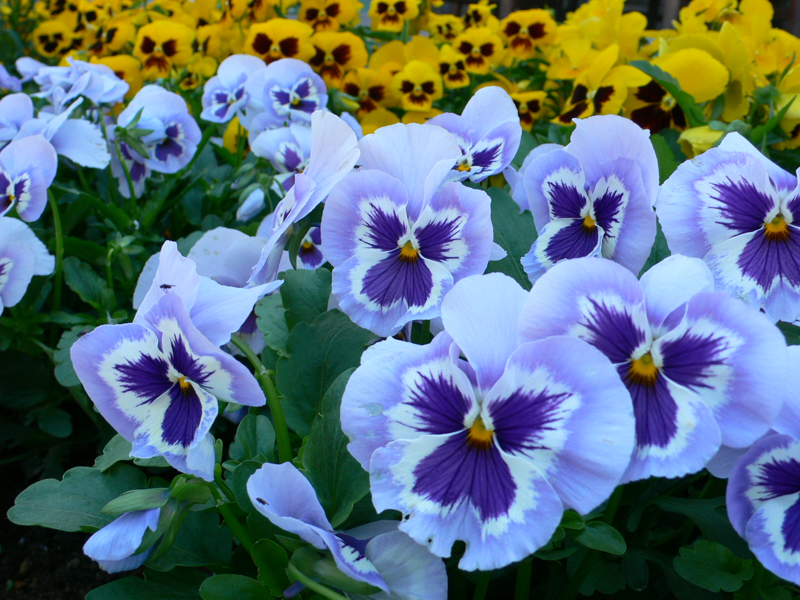 Violet (Pansy) Edible Flowers to Flavour your Food & Improve your Health (gardeningflavours.com)