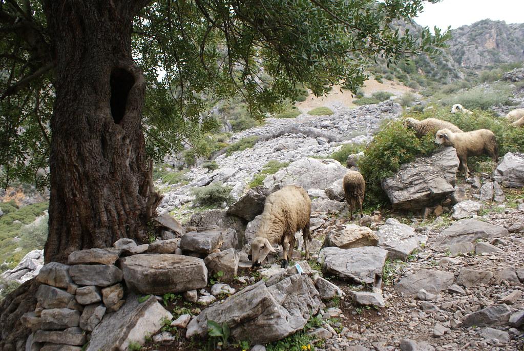 Magnifique chêne vert avec pour compagnie des troupeaux de moutons et des pierres.