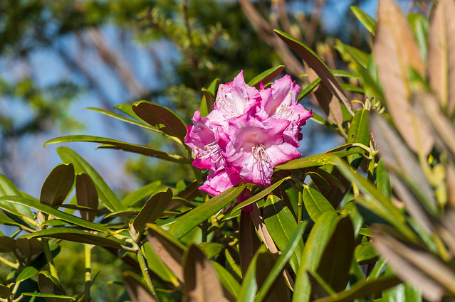 アズマシャクナゲ・・・わずかに咲いている