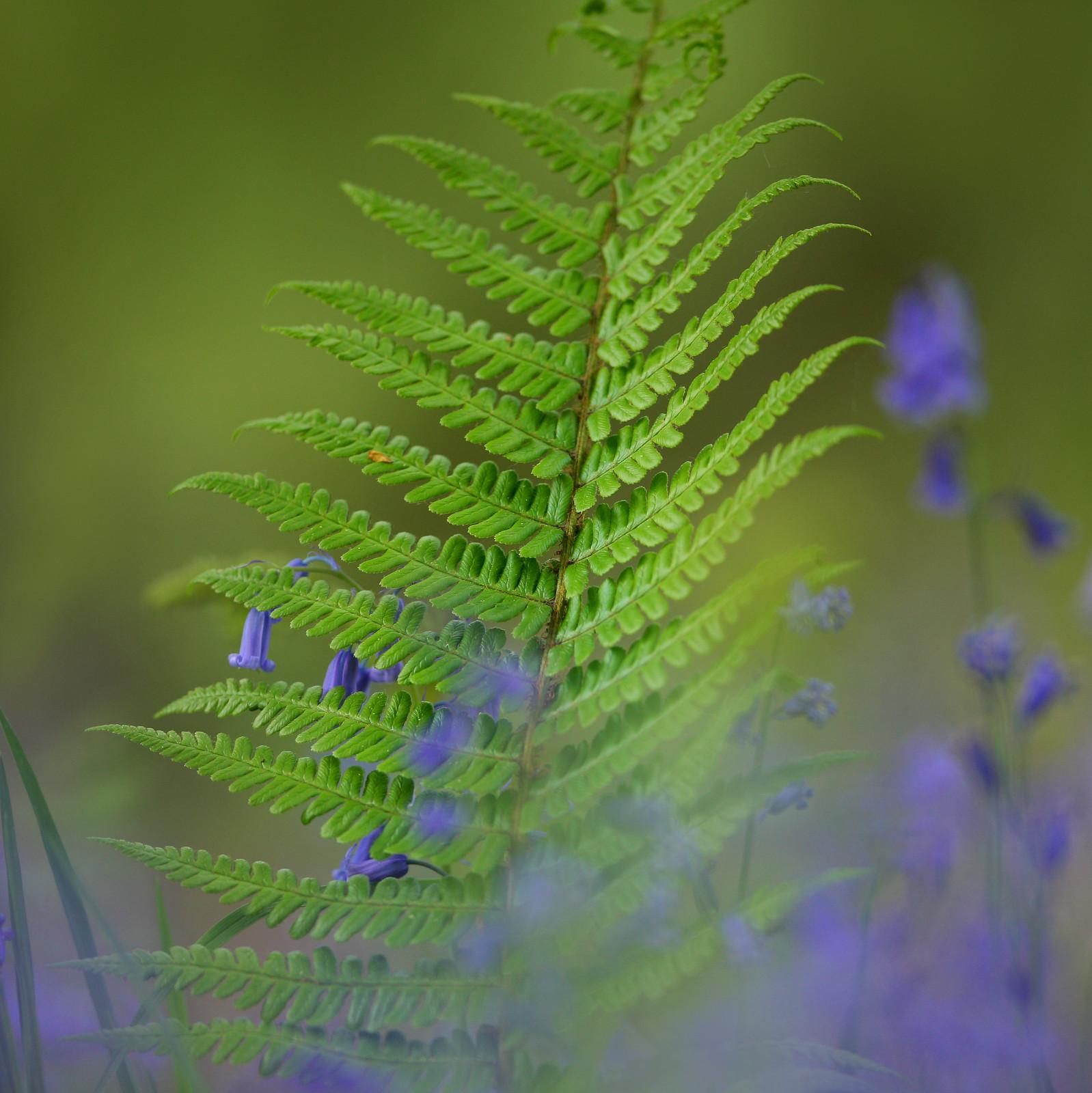 Fern in bluebells