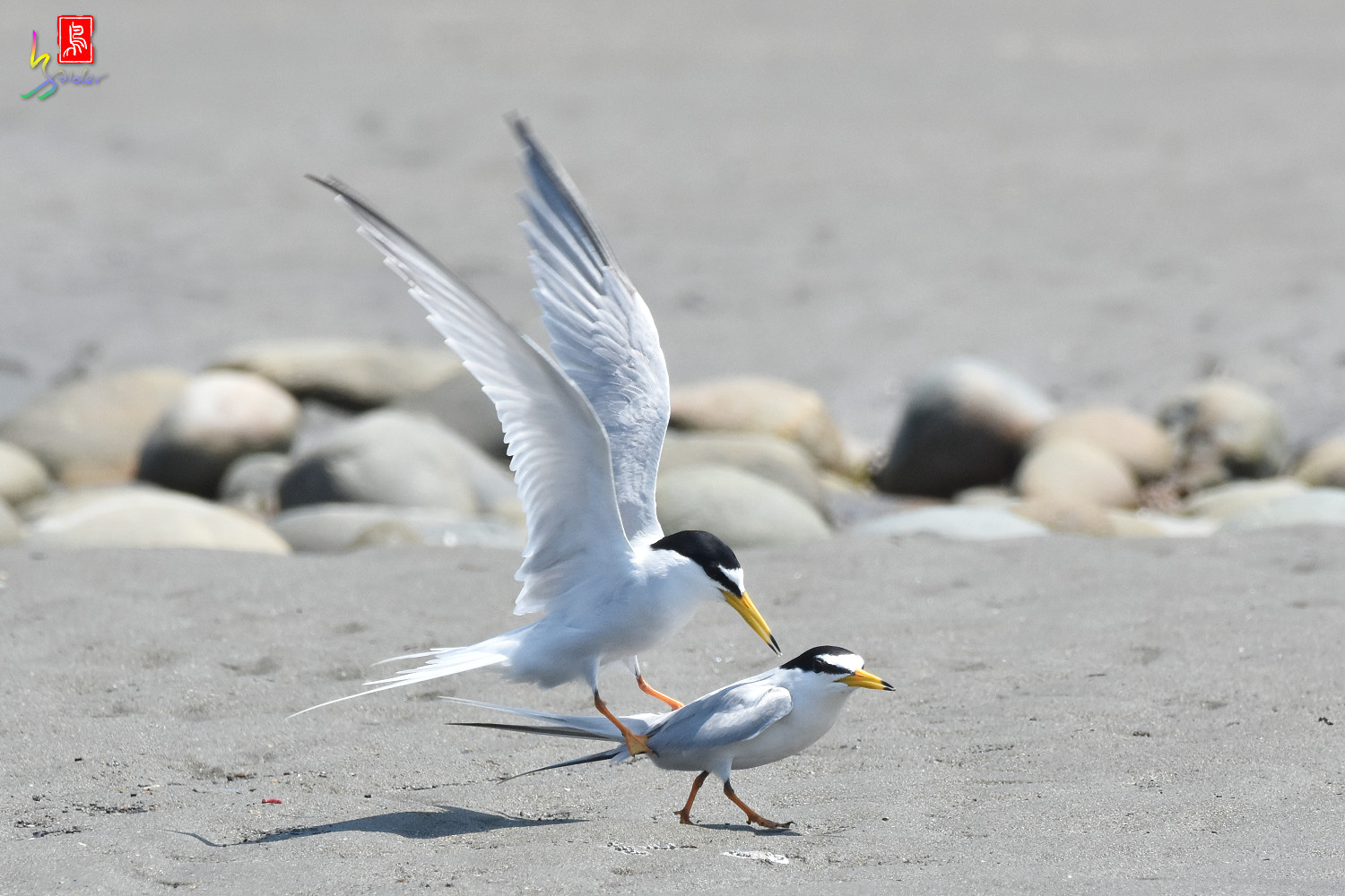 Little_Tern_8671