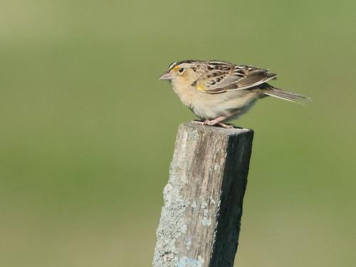 Grasshopper Sparrow 04-20180516