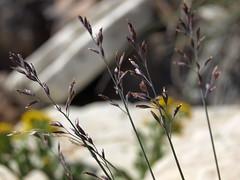 timberline bluegrass, Poa glauca subsp. rupicola