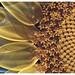 Sunflower ( ii ) detail by devo2001