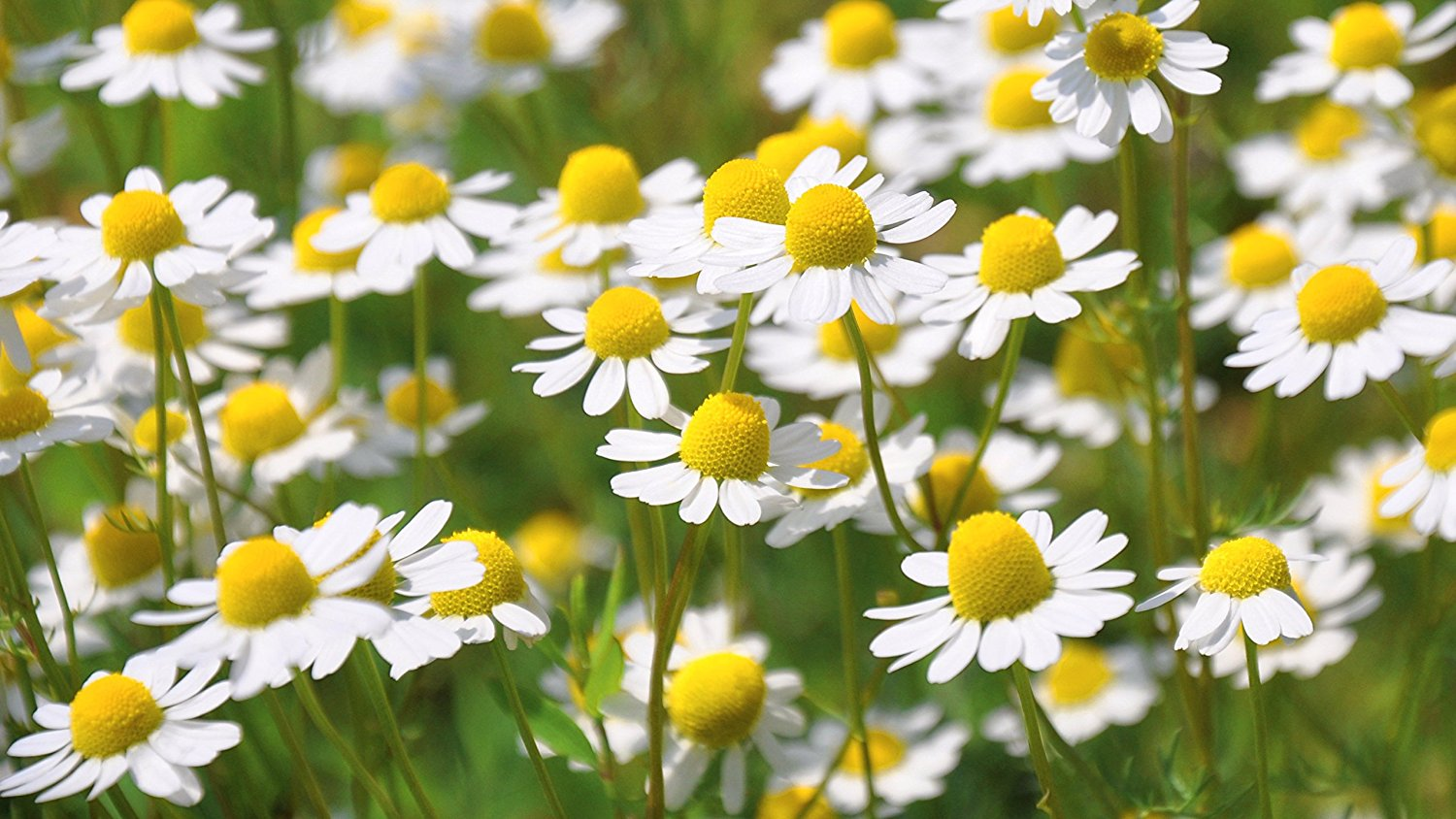 Chamomile Edible Flowers to Flavour your Food & Improve your Health (gardeningflavours.com)