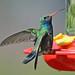 Broad-billed Hummingbird, male