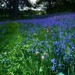 Bluebell Wood ( Best observed in light room)