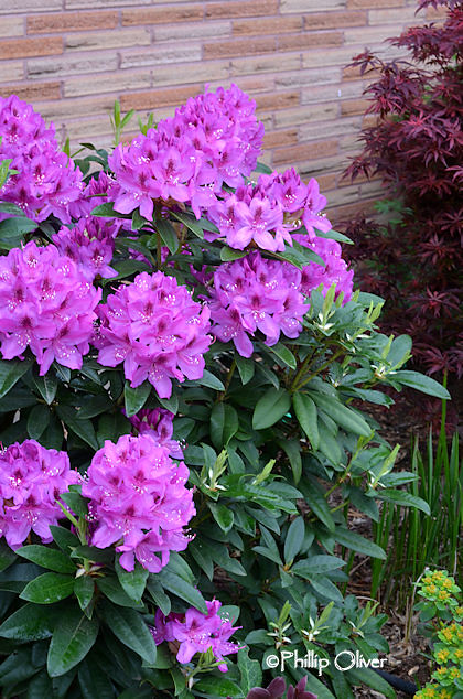 rhododendron-anah-kruske