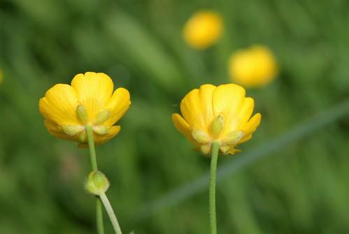 Ranunculus acris - renoncule âcre  41482613334_828d1687aa