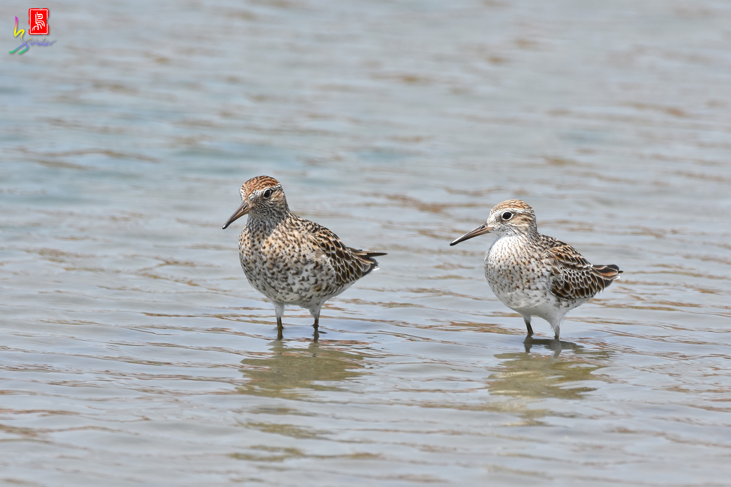 Sharp-tailed_Sandpiper_3596