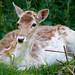 Doe a Deer a Female Deer.