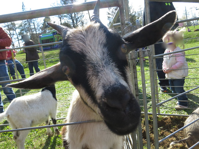 Closeup Goat
