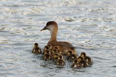 canard nette rousse lac de creteil Red-crested Pochard duck IMG_3972