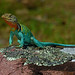Eastern Collared Lizard (Crotaphytus collaris) by 2ndPeter