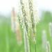 Græs-familien (Poaceae)-1494