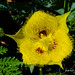 Yellow star tulip