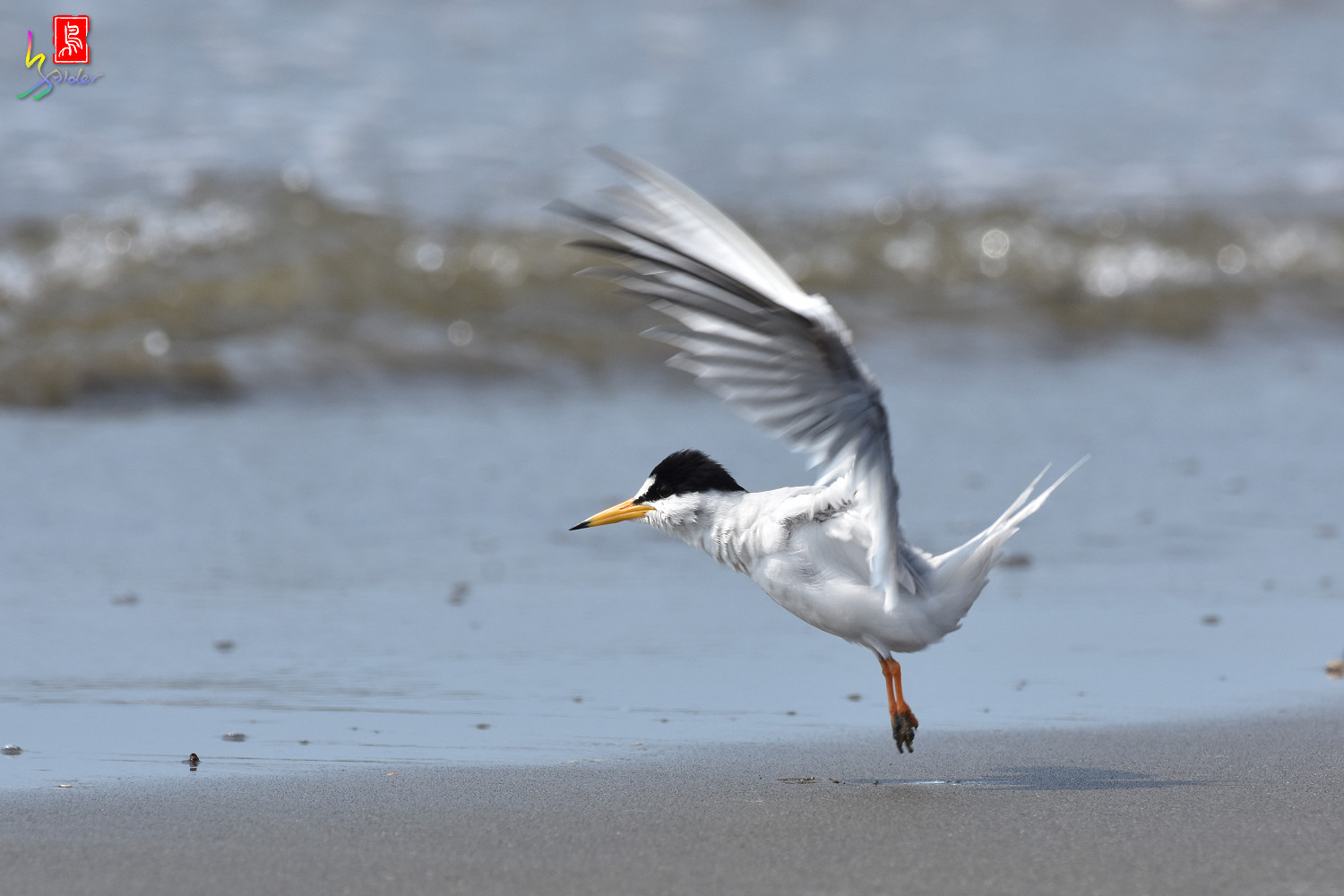Little_Tern_4007