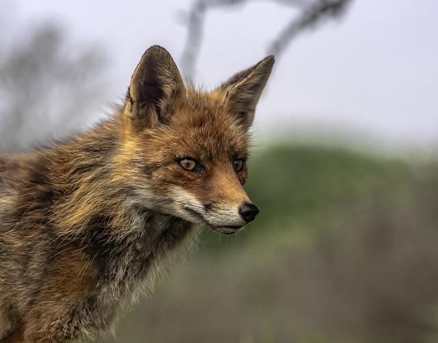 Fox not on the run