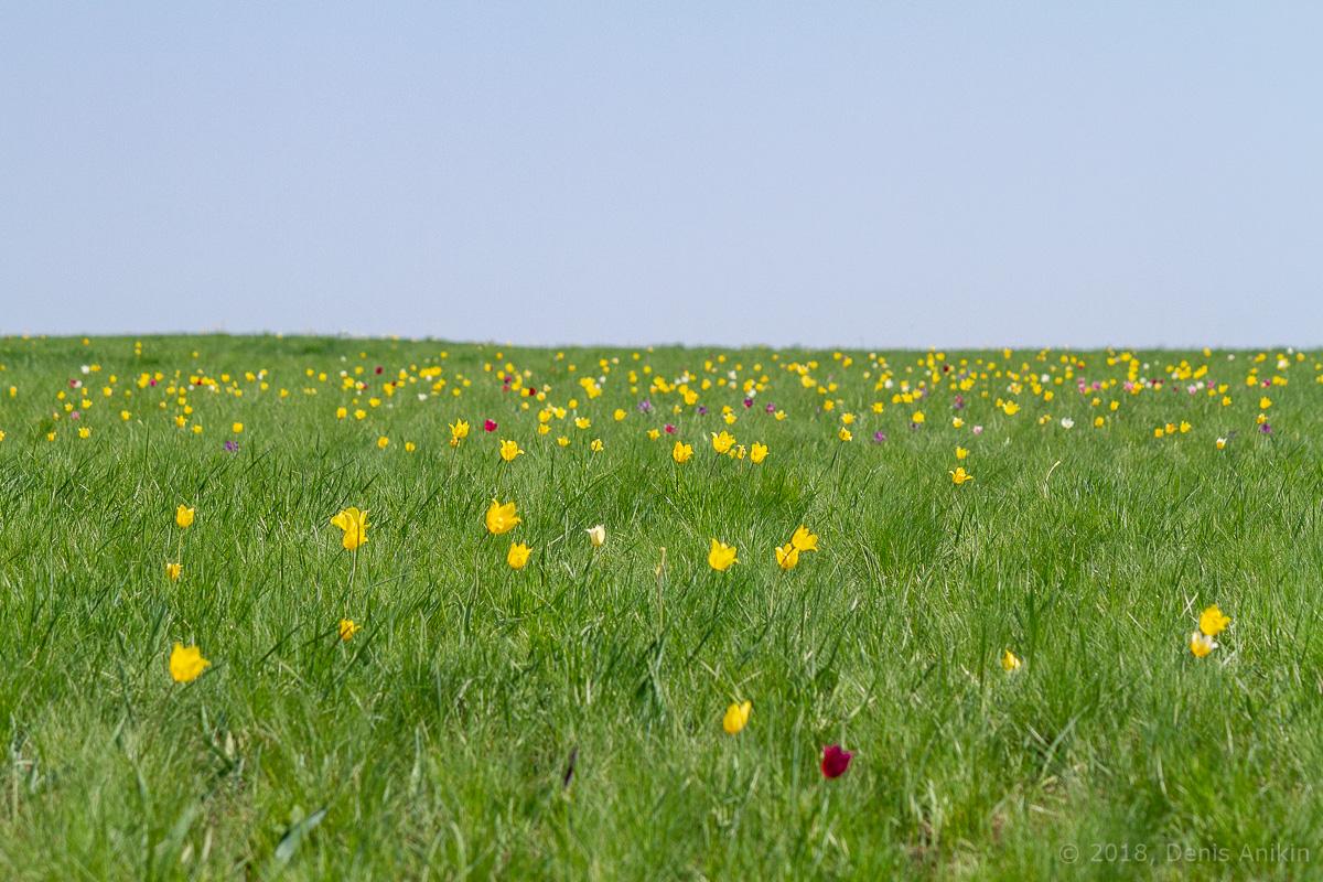 тюльпаны иваново поле фото 19
