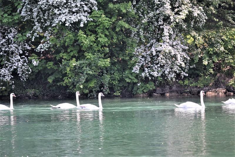 Swans 12.05 (3)