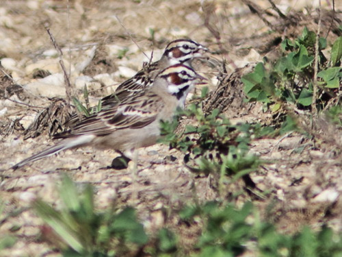 Lark Sparrows pair gathering rootlets04-20180507