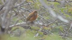 Chestnut Piculet (Picumnus cinnamomeus)