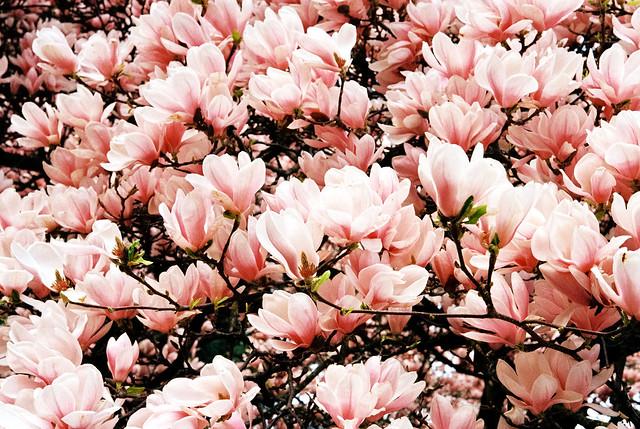 film magnolias