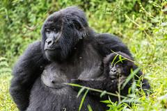 Gorilas en el Parque Nacional de Mgahinga (Uganda)