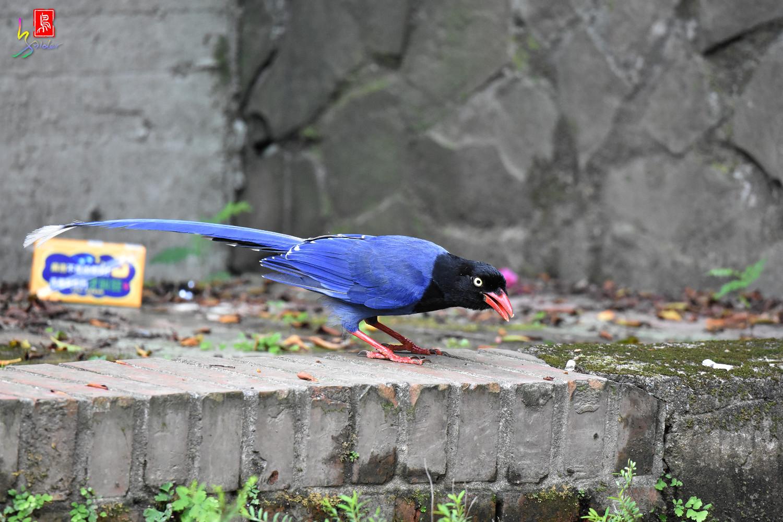 Formosan_Blue_Magpie_6609