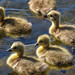 Baby geese by julian.taylor