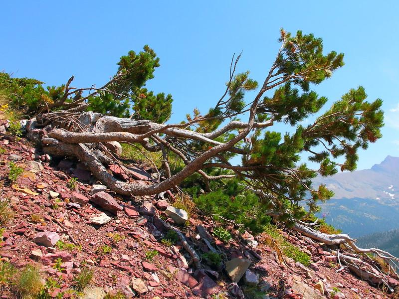 IMG_5083 Whitebark Pine in Krummholz Form on Triple Divide Pass Trail