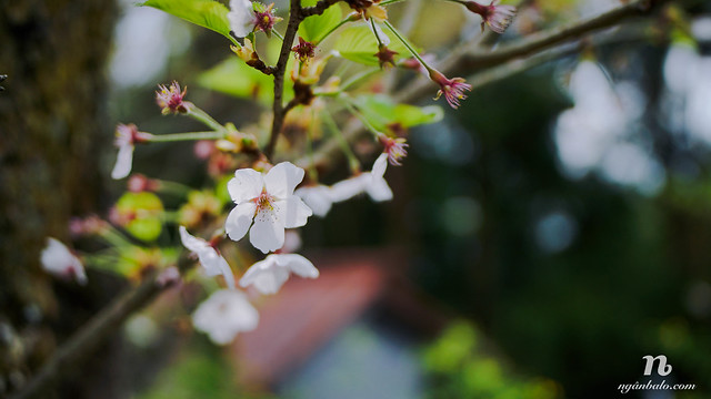 Du lịch bụi Nhật Bản (4): Ngày thứ Hai - Leo núi Yoshino (Yoshinoyama) tìm Hoa Anh Đào