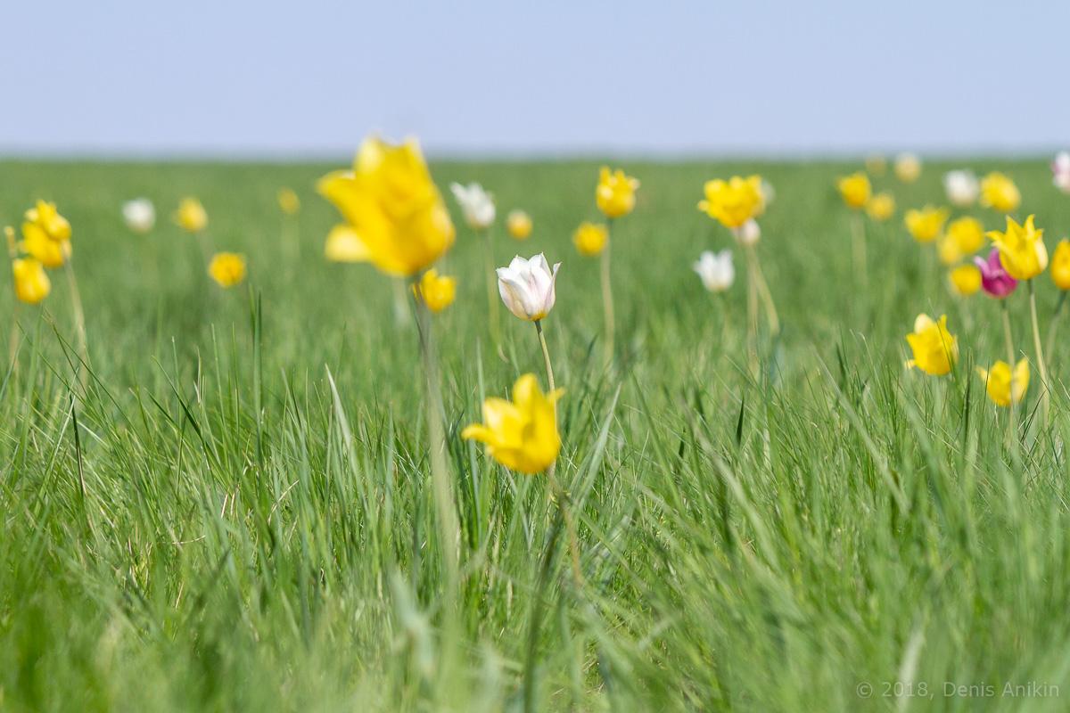 тюльпаны иваново поле фото 4