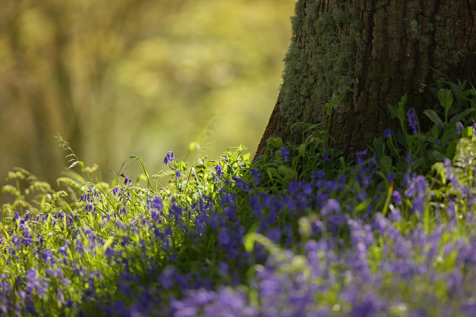Oak Tree & Bluebells