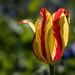 Striped Tulip