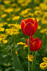 Red Tulips in a sea of green and yellow