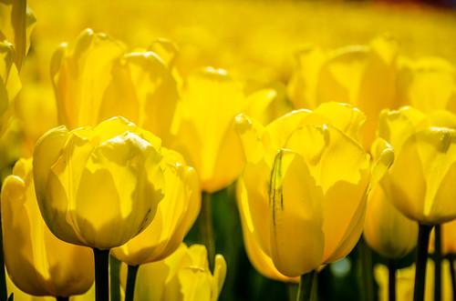 Skagit Valley Tulips-130