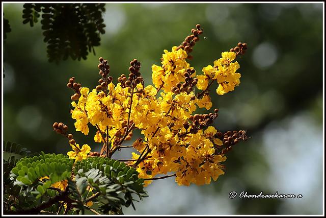 7823 - copper pod tree flowers