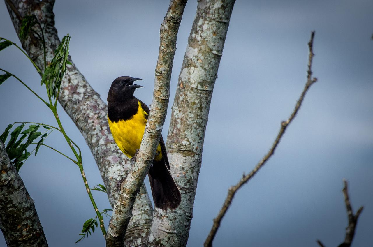 El pecho amarillo, se posa en la rama de una planta mientras canta durante una tarde de domingo, cerca de la ciudad de Juan de Mena. (Elton Núñez).