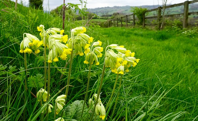 Roadside cowslips, Sony DSC-HX90V, Sony 24-720mm F3.5-6.4
