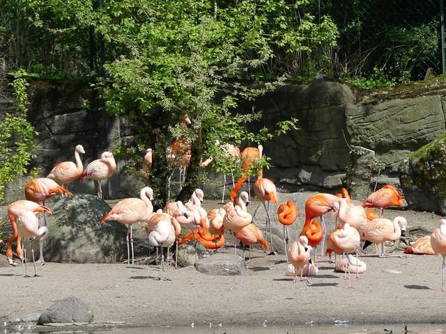 Flamingos, Hagenbeck