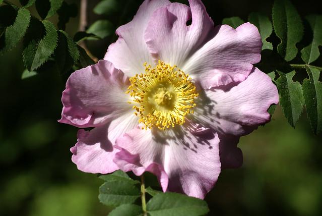 Kastanien-Rose chestnut rose rosa, Sony DSLR-A100, Sigma 70mm F2.8 EX DG Macro