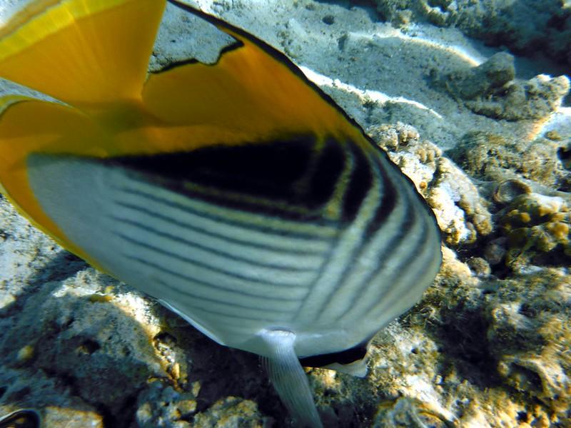 Нитепёрая рыба-бабочка (Chaetodon auriga)DSCF5016