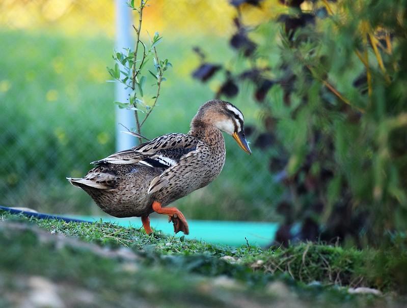Ducks 08.05 (3)