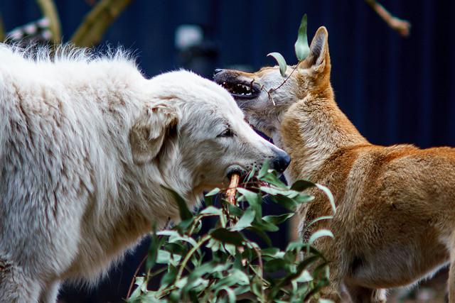 Dingo and friend