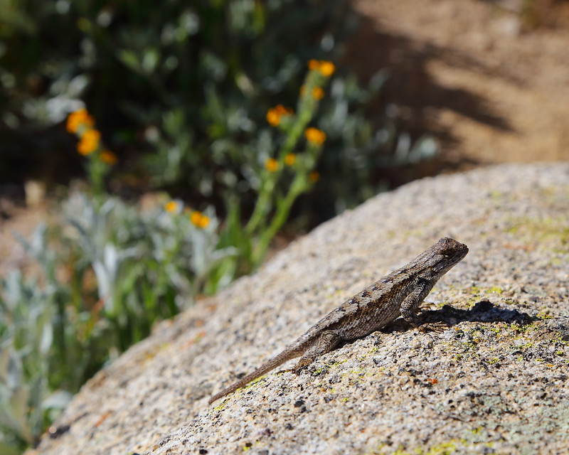 IMG_2513 Lizard on Pacific Crest Trail