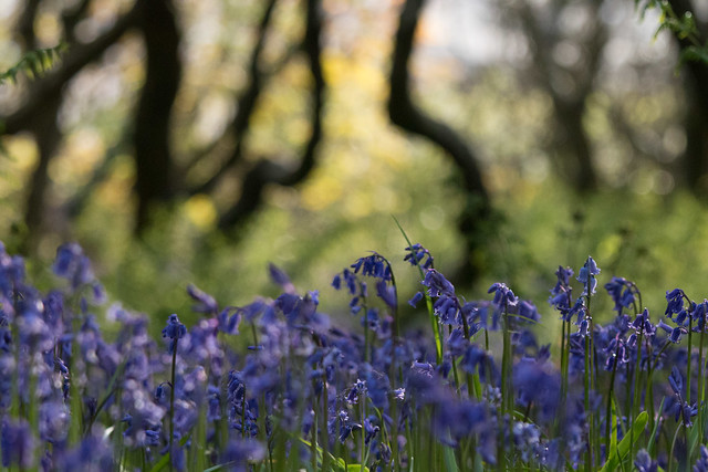 Blubells in the Wiggly Wood